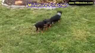 Miniature Pinscher, Puppies, For, Sale, In, Mobile, County, Alabama, Al, Huntsville, Morgan, Calhoun