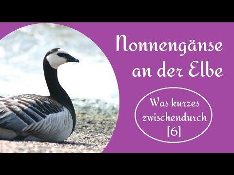 Nonnengänse an der Elbe |  Was kurzes zwischendurch [6]