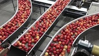 Apple Harvesting in China-Apple Farming-Fruit Harvesting سیب کی دُنیا