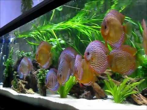 stendker diskusfische von http www diskus im liter aquarium mit led. Black Bedroom Furniture Sets. Home Design Ideas