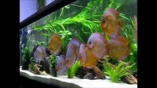 Stendker Diskusfische von http://www.Diskus-Direkt.de im 1.700 Liter Aquarium mit LED Beleuchtung