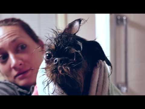 Brussels Griffon after bath