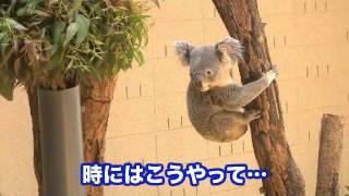 コアラって、お昼寝していることが多いのですが、活発に動いている意外...