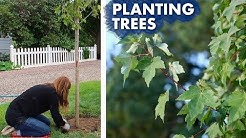 Planting a Hedge of Maple Trees // Garden Answer