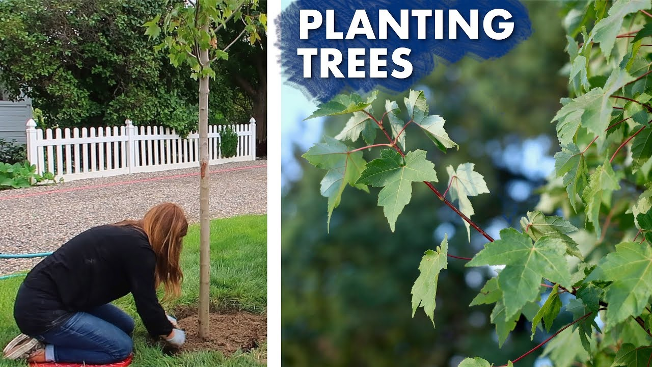 planting-a-hedge-of-maple-trees-garden-answer