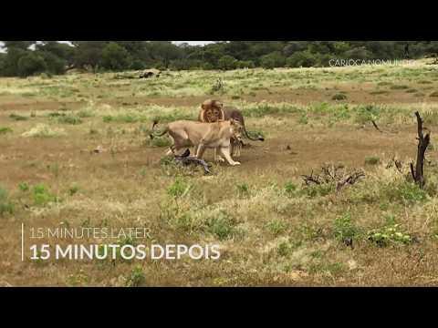 Lions matting in Etosha Park, Namibia