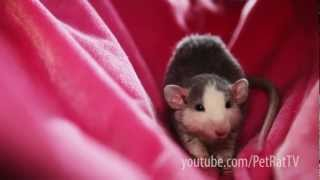 Baby Rats Mary and Minky Playing in Their Hammock [HD]