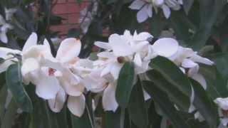 Magnolia Maudiae Plant