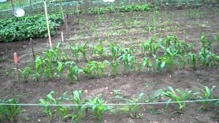 Ant Problems & Severe Rain 4th Week #08 Heirloom Organic Vegetable Garden