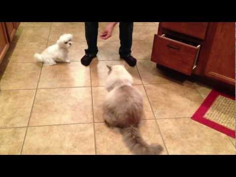 Ragdoll Cat and Maltese / Shitzu ( Malshi ) puppy doing tricks together amazing and funny