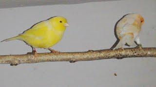 Wpuszczam samca kanarka do samiczki