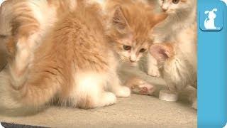 Tabby Kitties & Bottle Caps! - Kitten Love