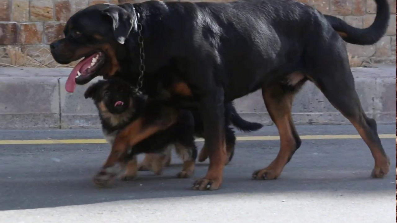 History Of The Rottweiler Rottweiler Life Youtube