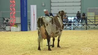 Suprême Laitier 2017 - Vache Adulte - Ayrshire