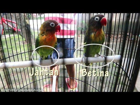 Dengan Dimandikan Lebih Mudah Membedakan Jenis Kelamin Lovebird Cara Membedakan Lovebird Vlogoko Youtube