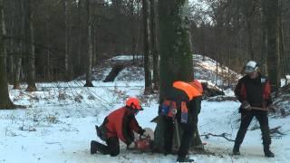 Fældning af store bøgetræer i Rold Skov