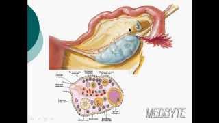 Анатомия женской репродуктивной системы