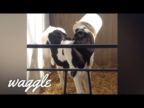 Baby Farm Animals Gone Wild | Try Not to Aww Challenge