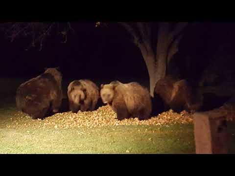 Viewer photos: grizzly bears near Choteau
