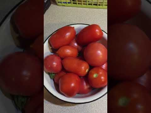 Pomidore Amore tegoroczne zbiory