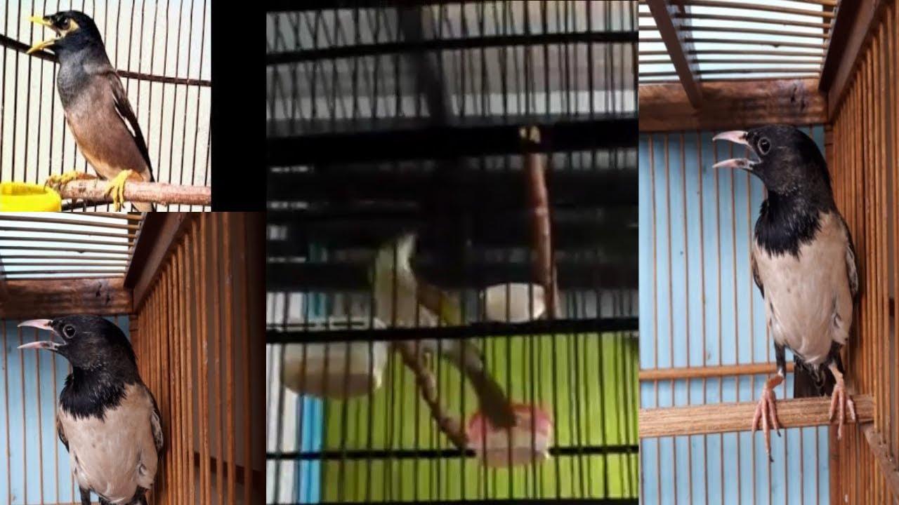 Burung Jalak Papua Youtube