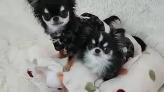 Смешные приколы про собак/Чихуахуа 2019🐶❤️