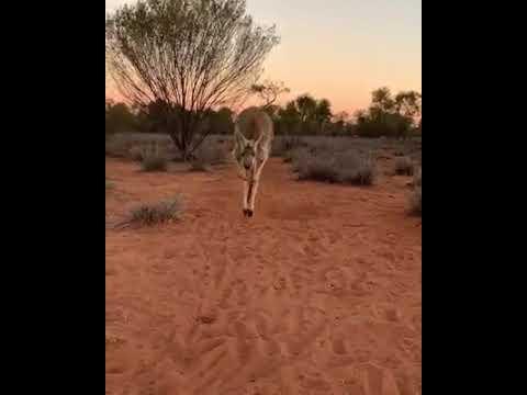 Our Kangaroo Gorgeous Queen Abi