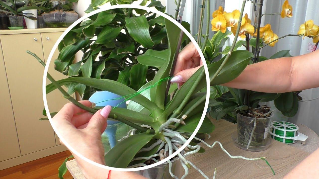 Как я поднимаю цветоносы орхидеям / Орхидея Лиодора удивляет/Орхидея Лас Вегас/Орхидея Бэби Фейс