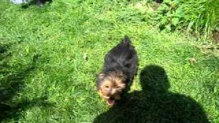 Yorkshire Terrier Pups Jumping