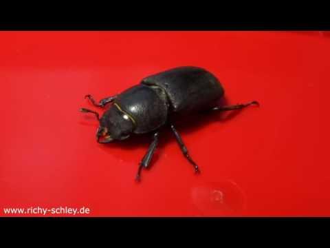 schwarze fliegende käfer