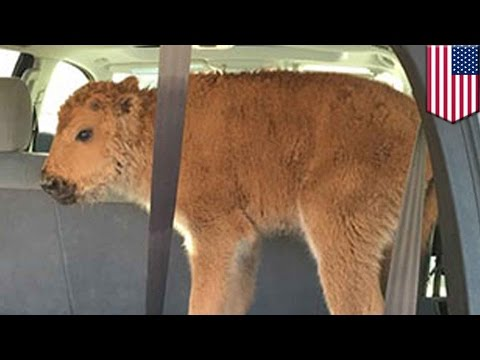 Baby bison killed: Yellowstone Park bison calf euthanized because tourists put it in SUV - TomoNews