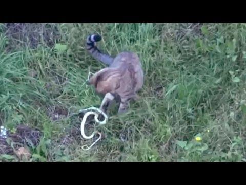 cat hunting european viper snake adder in the backyard youtube