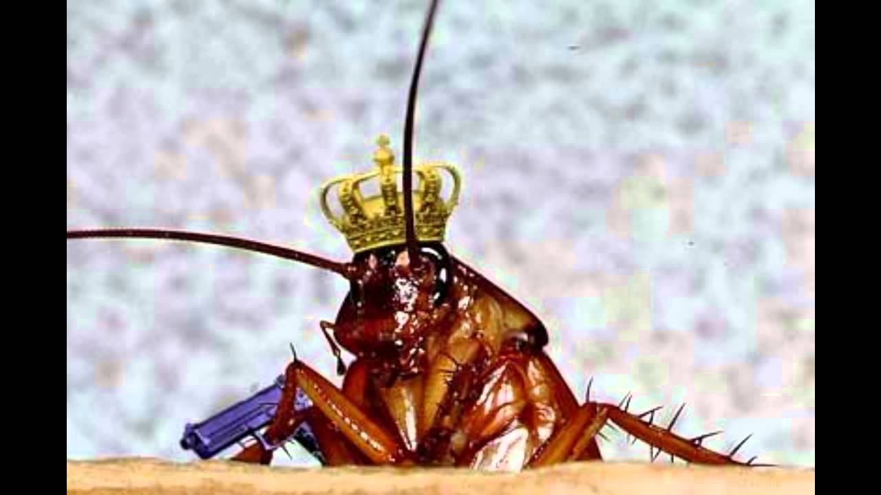 Image result for king cockroach