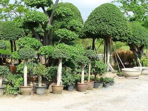 ficus tree ficus tree pictures - Ficus Trees