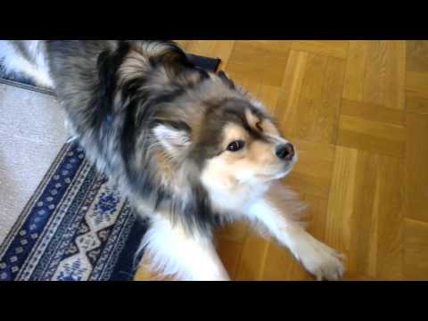 Talking Dog - Finnish Lapphund (Banshee)