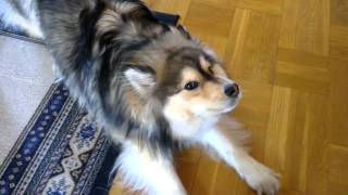 Talking Dog  Finnish Lapphund (Banshee)