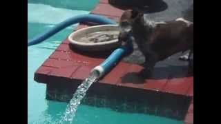This funny dapple dachshund shows how to attack water