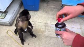 ジュースを買うフサオマキザル