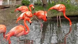 Фламинго Московского зоопарка