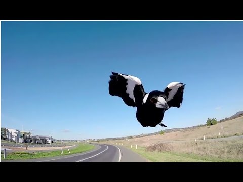 Magpies Attacking During Swooping Season - Behind The News