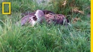 Python Eats Hyena   National Geographic