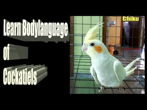 Learn Bodylanguage of Cockatiel || Cockatiel Gestures