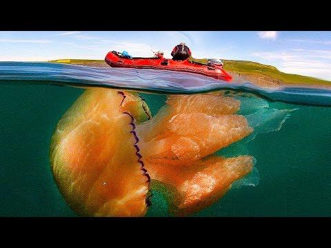 14 Weirdest Looking Jellyfish