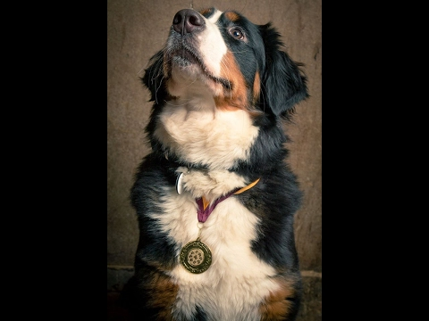 Ellie - Bernese Mountain Dog Puppy - 5 Weeks Residential Dog Training