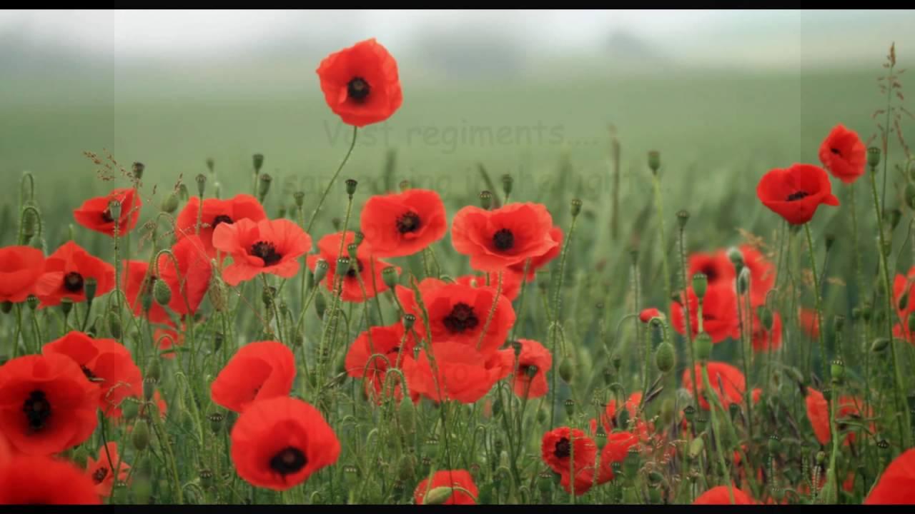 In A Poppy Field Commemorating World War I Poem By Matthew R