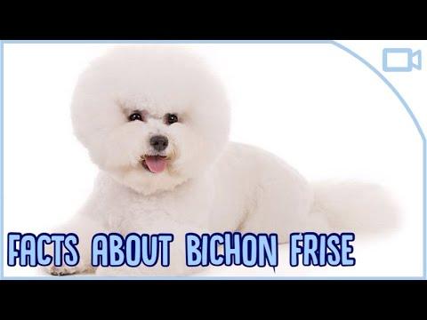 Facts About Bichon Frise!