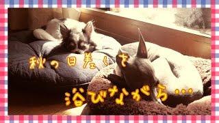 CAST☆ ルナ・・チワワ♀2017年10月20日生まれ ボナ・・イタグレ♀2011年9...