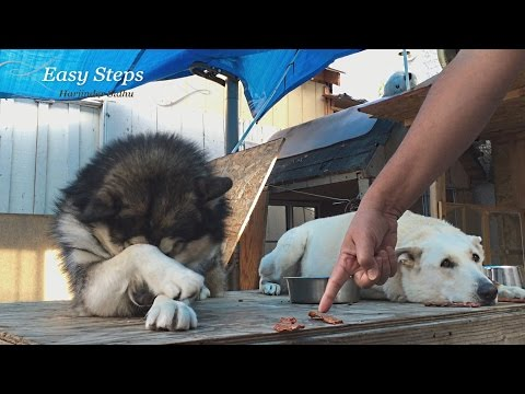 "Dog Obedience ""Sheru"" the Alaskan Malamute 