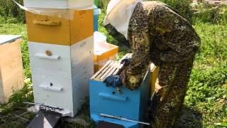 Пчеловодство. Уроки для начинающего пчеловода