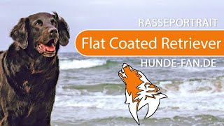 Flat Coated Retriever [2018] Breed, Appearance & Character